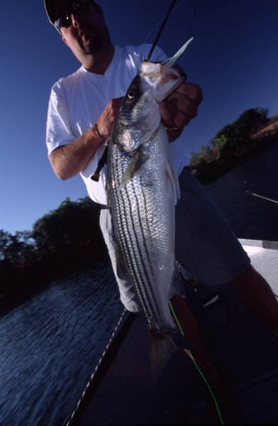 Striper, Little One