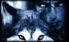 234536trium-wolf.jpg